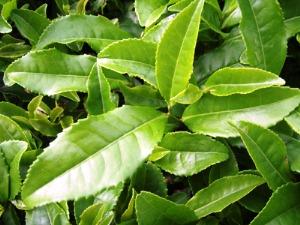 طرح توجیهی کارخانه چای سبز