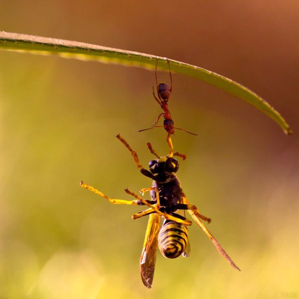 قویتر بودن مورچه از فیل