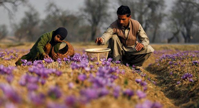 نگرانی از فروش زعفران چینی، هندی و امارات در ایران و منطقه