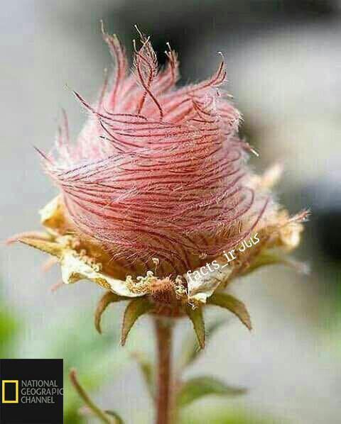 یکی از زیباترین و کمیاب ترین گلهای رز دنیا