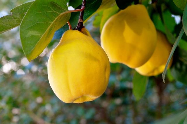 تولید مرغوبترین میوه 'به'در شهرستان کوثر