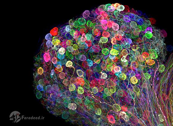 این بخش از مغز جنین جوجه مرغ با تکنیک ژنتیکی brainbow رنگ آمیزی شده است.