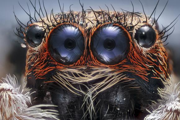 چشمان عنکبوت از نمای نزدیک