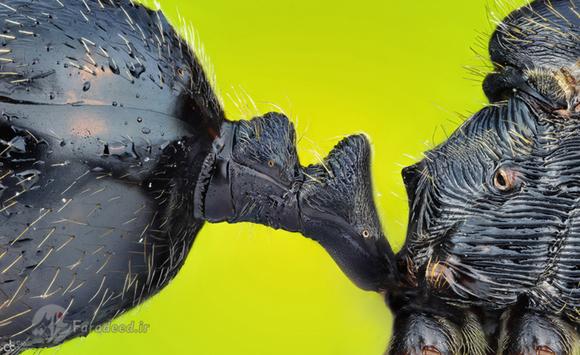 نمای میکروسکوپی از شکم و سینه یک مورچه