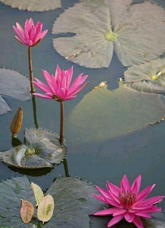 سرآب نیلوفر در ۲۰ کیلومتری شمال غرب کرمانشاه آب سرآب نیلوفر آنچنان زلال است که ساقه گلهای  آن به وضوح نمایان است.